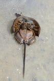 Limulidae. Horseshoe crab on beach Stock Photo