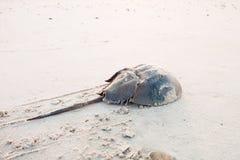 Limulo che striscia di nuovo all'oceano Fotografia Stock Libera da Diritti