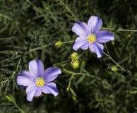 Lin bleu, fibre ou lin éternel en fleur Images libres de droits