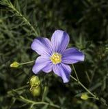 Lin bleu, fibre ou lin éternel en fleur Image libre de droits