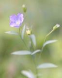 Lin commun (usitatissimum de Linum) en fleur Photographie stock libre de droits