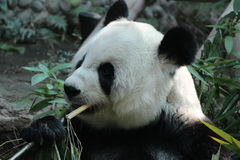 Lin Hui, female panda in Chiangmai zoo, Thailand Stock Images