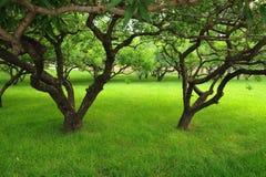 lin persika Arkivbild
