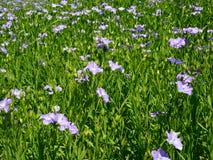 Lin textile de floraison Photos stock