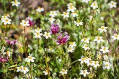 Linanthus variabile (parviflorus di Leptosiphon) e pochi-flowerered wildflowers del trifoglio (oliganthum del trifoglio) che fior fotografia stock libera da diritti