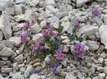 Linaria alpina Lizenzfreies Stockfoto