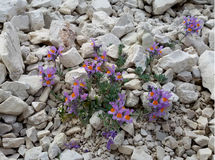 Linaria alpina. Some nice flowers of Linaiola alpe (Linaria Alpina Royalty Free Stock Photo