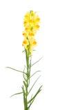 Linaria de la mantequilla y de los huevos vulgaris Foto de archivo libre de regalías