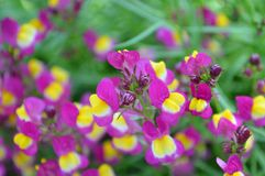 Linaria Annual Flower looks like Mini Snapdragon. Linaria taken during the Holland Tulip Time Festival. It reminds me of snapdragon Royalty Free Stock Photos