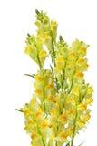 Linaria vulgaris Immagini Stock