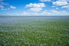 Linblommor Linfält, lin som blommar, jordbruks- odling för lin royaltyfri fotografi