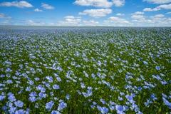 Linblommor Linfält, lin som blommar, jordbruks- odling för lin royaltyfria bilder