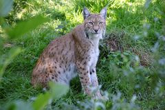 Lince 2 Foto de Stock Royalty Free