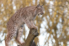 Lince Immagine Stock