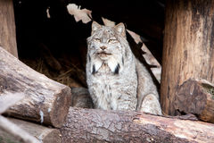 Lince Foto de Stock Royalty Free