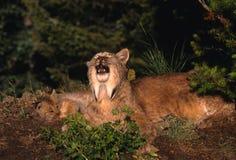 Lince canadense com gatinho Foto de Stock Royalty Free