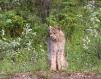 Lince canadese Immagini Stock