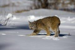 Lince canadese, canadensis di Lynx Immagine Stock Libera da Diritti