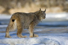 Lince canadese, canadensis di Lynx Fotografie Stock