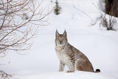 Lince canadese che si siede nella neve Immagini Stock Libere da Diritti