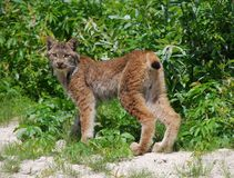 Lince canadese immagine stock