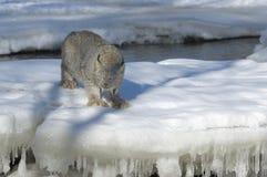 Lince canadiense en invierno Imagen de archivo libre de regalías