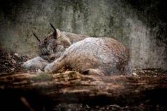 Lince canadiense que toma una siesta Foto de archivo