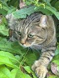 Lince Cat Hunting das montanhas Foto de Stock