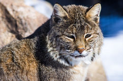 Lince Fotos de Stock Royalty Free