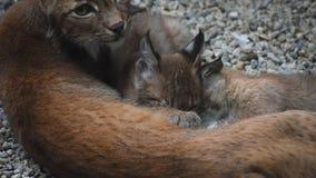 Lince da mãe que alimenta dois gatinhos perto acima filme