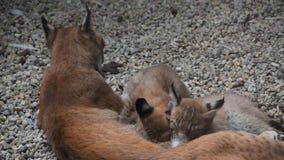Lince da mãe que alimenta dois gatinhos perto acima vídeos de arquivo