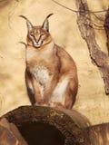 Lince de deserto - Caracal caracal - situação na pedra Fotografia de Stock Royalty Free