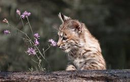 Lince del bebé que mira la flor Fotografía de archivo libre de regalías