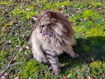 Lince del gato atigrado de Mainecoon Foto de archivo