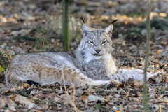 Lince del lince Fotografie Stock