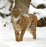 Lince do inverno Fotografia de Stock Royalty Free