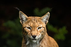 Lince ela - gato Foto de Stock Royalty Free