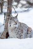 Lince em uma floresta norueguesa do inverno Imagem de Stock Royalty Free