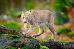 Lince en el bosque que camina el gato salvaje eurasiático en la piedra cubierta de musgo verde, árboles verdes en fondo Gato salv imagen de archivo