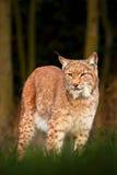 Lince en el gato salvaje del bosque en el hábitat del bosque de la naturaleza Lince eurasiático en el bosque, lince del bosque de Foto de archivo libre de regalías