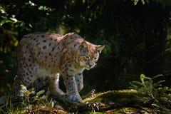 Lince en el lince salvaje del gato del bosque en el hábitat del bosque de la naturaleza Lince eurasiático en el bosque, lince del Imagen de archivo