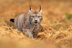 Lince en escena verde de la fauna del bosque de la naturaleza Lince eurasiático que camina, comportamiento animal en hábitat Gato imágenes de archivo libres de regalías