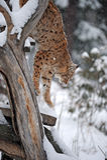 Lince en invierno Imagenes de archivo