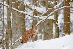 Lince en retrato del bosque de la nieve del lince eurasiático en invierno Escena de la fauna de la naturaleza checa Gato Nevado e Imagen de archivo