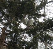 Lince en un árbol Foto de archivo libre de regalías