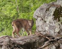 Lince en una roca Formationi Imagen de archivo libre de regalías