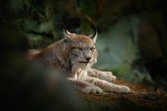 Lince eurasiático del gato grande que se sienta en roca Foto de archivo libre de regalías