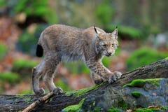 Lince eurasiático del gato salvaje que camina en bosque verde Imagen de archivo