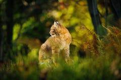 Lince eurasiático en bosque Imagenes de archivo