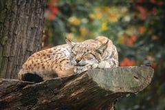 Lince eurasiático que duerme en un árbol Fotografía de archivo